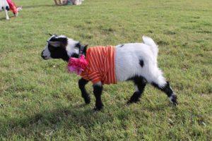 AZ Goat Yoga, Gilbert, Yoga, AZ, Goat